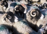 Swaledale Sheep detail