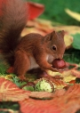 Red squirrel and horse chestnuts