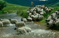 Farmer herding flock of sheep across stream