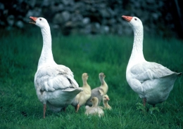Geese with goslings