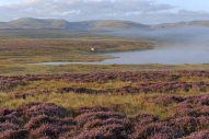Heather in bloom near Sunbiggin Tarn