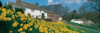 Askham Village with daffodils