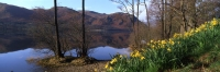 Ullswater - Daffodils on bank,