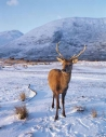 Red Deer stag in winter…